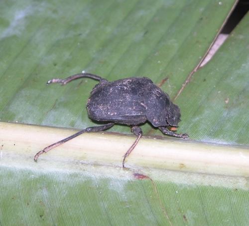 Deltochilum amazonicum