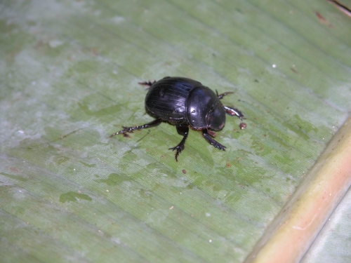 Dichotomius mamillatus (hembra)
